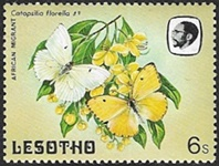 Catopsillia florella